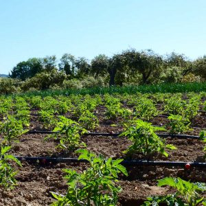 Potager plein champ avec des tomates et herbes aromatiques pour la fabrication des plats d'Eric Pinna Traiteur à Apt